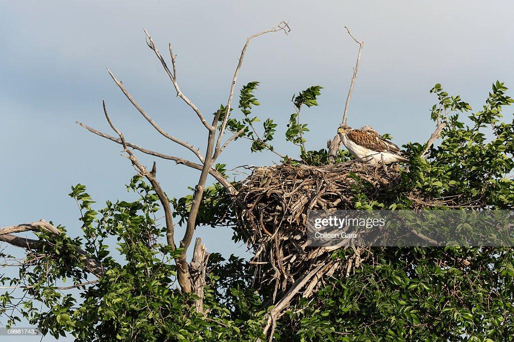 Adult Swainson's Hawk in Nest in the Canadian Prairies : Foto de stock