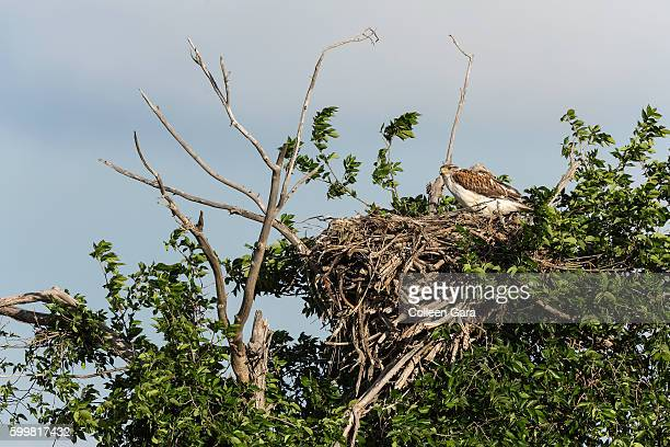 adult swainson's hawk in nest in the canadian prairies - hawk nest foto e immagini stock
