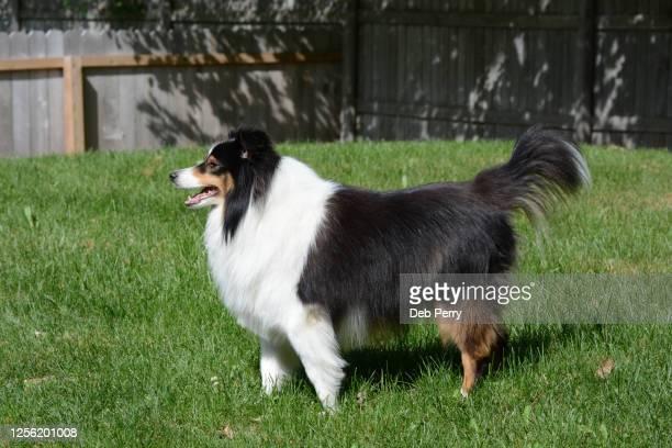 adult tri-color shetland sheepdog (sheltie) posed - traverse city fotografías e imágenes de stock