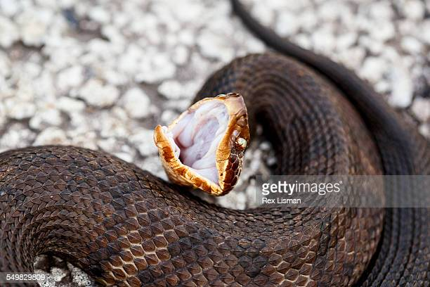 adult western cottonmouth in defensive posture - cottonmouth snake stock pictures, royalty-free photos & images