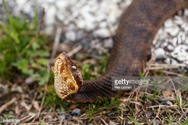 adult western cottonmouth on the edge of a road - cottonmouth snake stock pictures, royalty-free photos & images