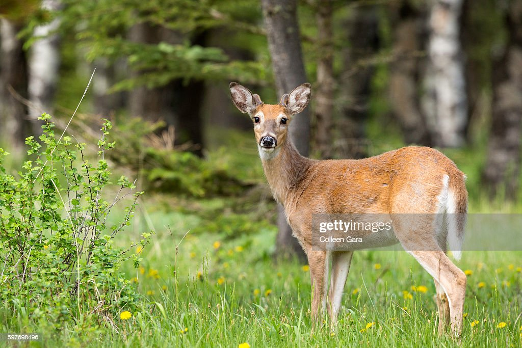 Adult White-tailed deer, Odocoileus virginianus, in Cypress Hills Interprovincial Park : Stock Photo