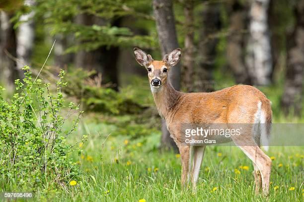 Adult White-tailed deer, Odocoileus virginianus, in Cypress Hills Interprovincial Park