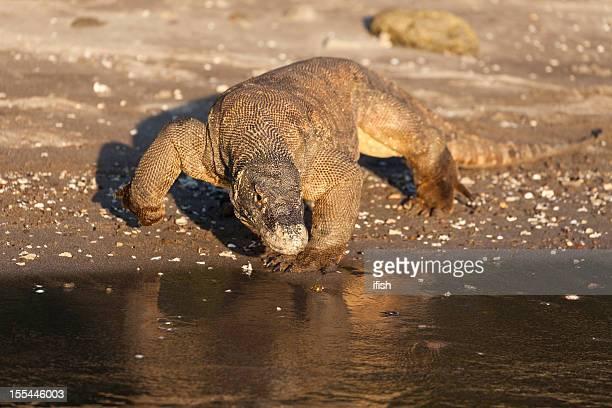 adulto de dragón de komodo salvaje, south isla de rinca, parque nacional de komodo, indonesia - komodo fotografías e imágenes de stock