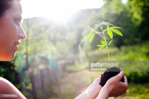 adult woman carrying small cannabis plant to its planting spot - hemp stock pictures, royalty-free photos & images