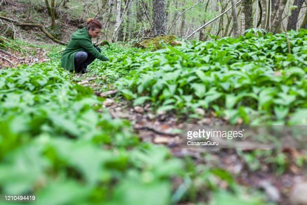 volwassen vrouw die ramson bladeren in bos verzamelt - de foto van de voorraad - niet gecultiveerd stockfoto's en -beelden