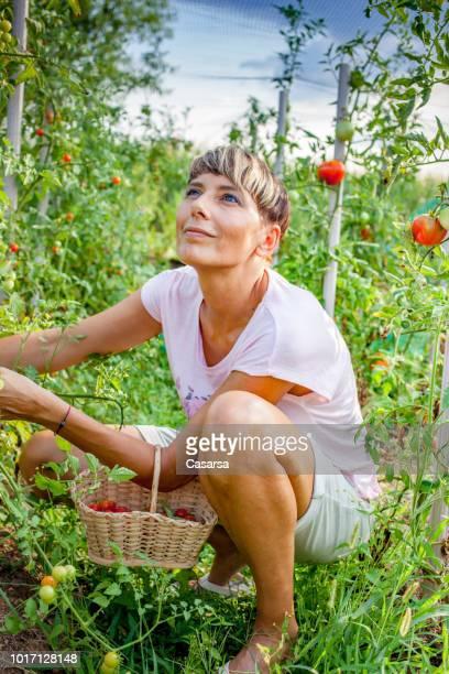 Adult woman harvesting cherry tomato