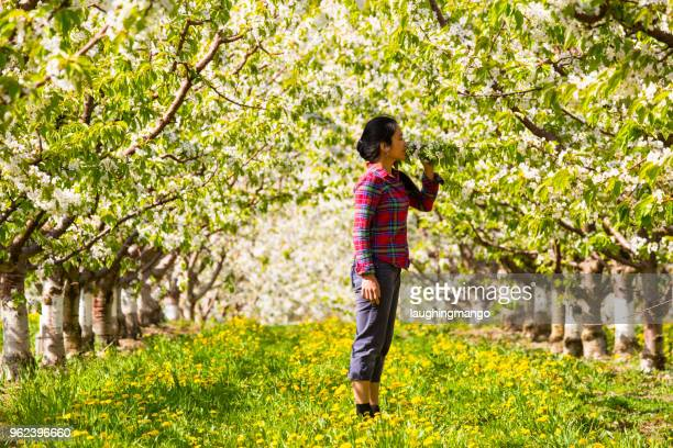 adult woman in cherry orchard - wonderlust stock pictures, royalty-free photos & images