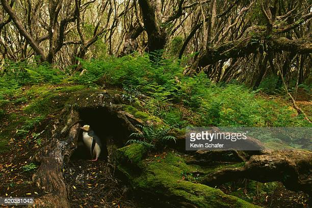 Adult Yellow-Eyed Penguin Nesting in Rata Forest