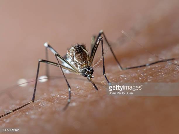 aedes aegypti (dengue, zika, yellow fever mosquito) biting human skin, frontal view - insectenbeet stockfoto's en -beelden