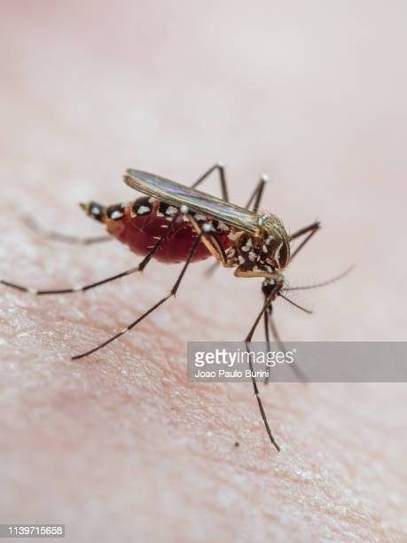 aedes aegypti biting skin (yellow fever mosquito / mosquito da dengue) - disease vector stock pictures, royalty-free photos & images