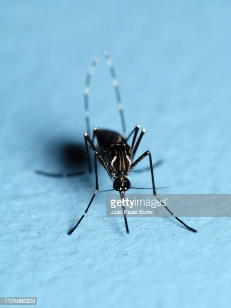 aedes aegypti mosquito on a blue background - zika virus stock pictures, royalty-free photos & images