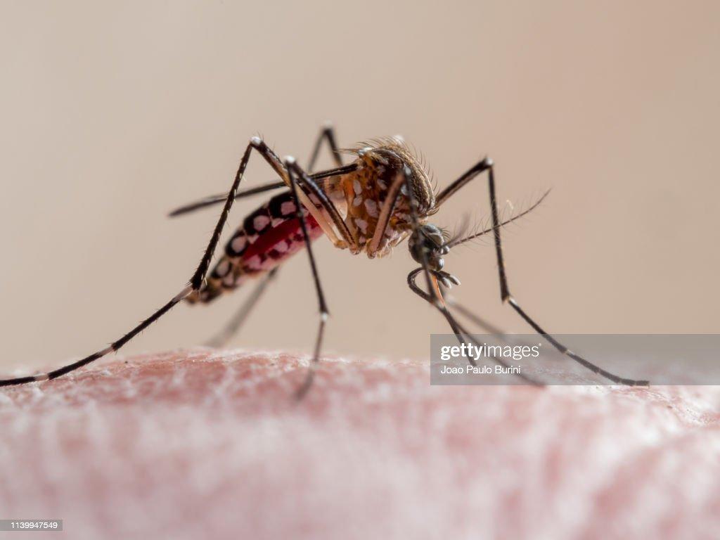 Aedes aegypti mosquito (mosquito da dengue) : Stock Photo