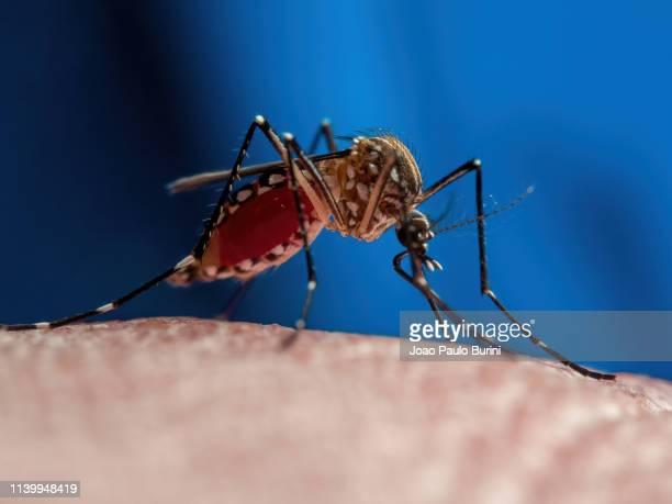 aedes aegypti mosquito (mosquito da dengue) - zoonotic diseases ストックフォトと画像