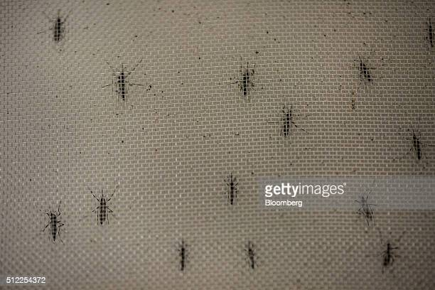 Aedes aegypti mosquitoes infected with Wolbachia bacteria are seen at the Oswaldo Cruz Foundation in Rio de Janeiro Brazil on Friday Feb 19 2016...