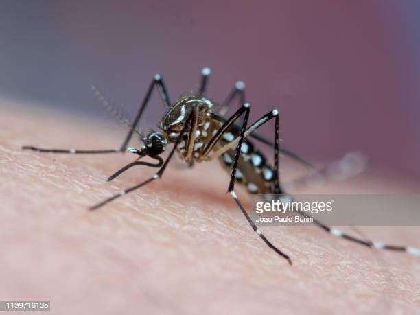 aedes aegypti (yellow fever mosquito / mosquito da dengue) - zoonotic diseases stock pictures, royalty-free photos & images