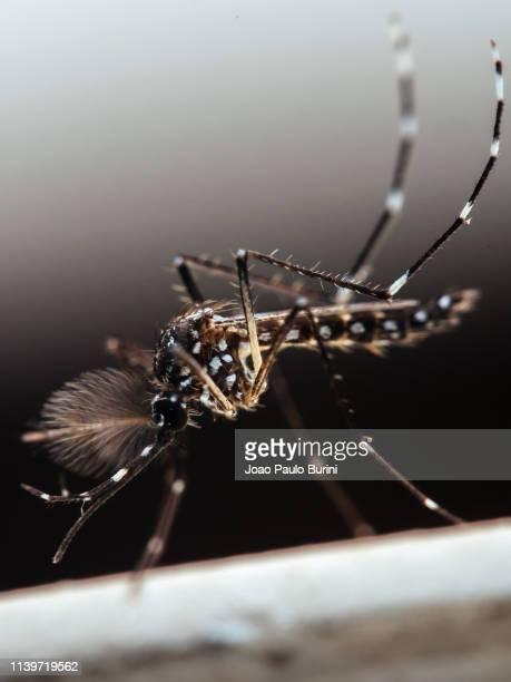 aedes aegypti (yellow fever mosquito / mosquito da dengue) - dengue imagens e fotografias de stock