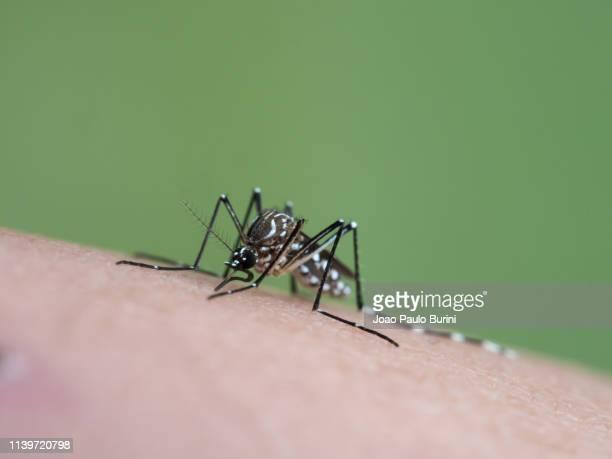 aedes aegypti (yellow fever mosquito / mosquito da dengue) - ネッタイシマカ ストックフォトと画像