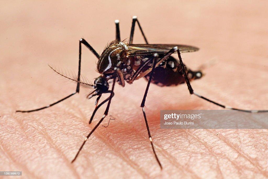 Aedes aegypti : Stock Photo