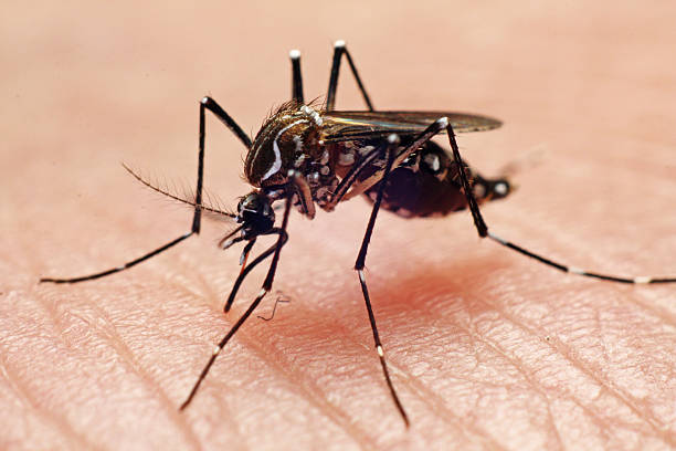 aedes aegypti - dengue stock pictures, royalty-free photos & images