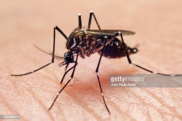 aedes aegypti - mosquito imagens e fotografias de stock
