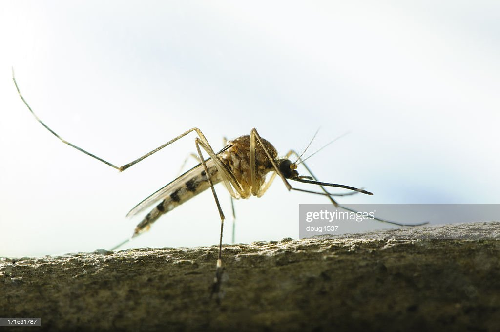 Aedes Mosquito : Stock Photo