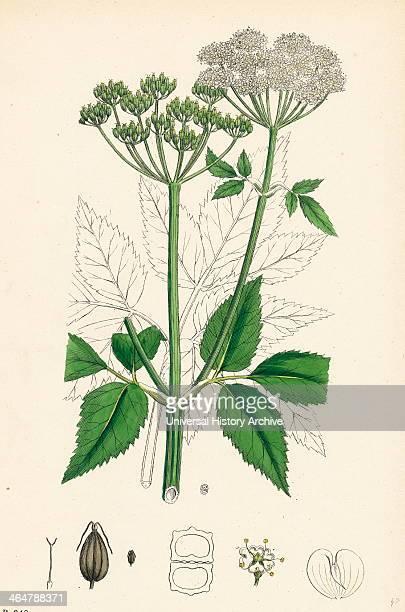 Aegopodium Podagraria Common Goutweed