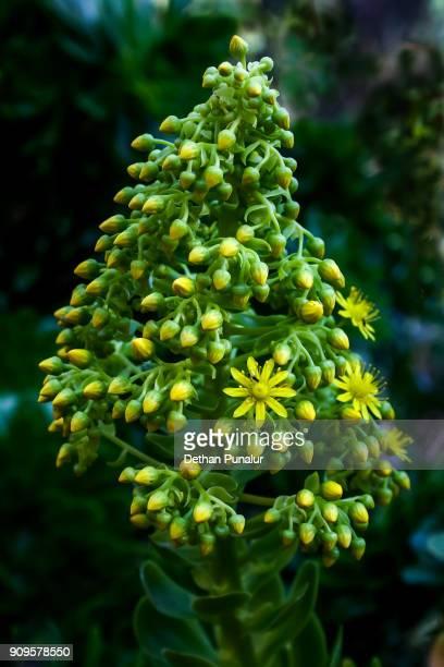 Aeonium arboreum flower bud