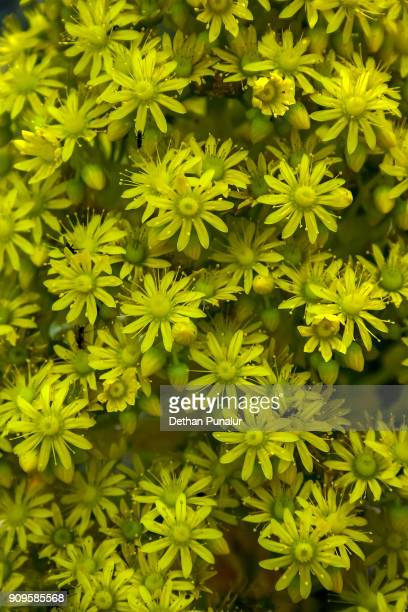 Aeonium arboreum flower close up