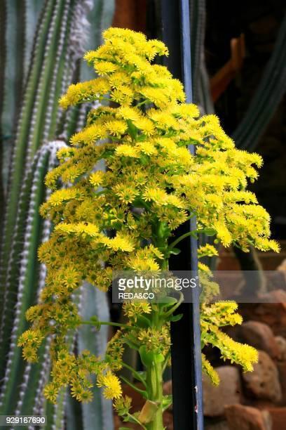 Aeonium arboreum inflorescence