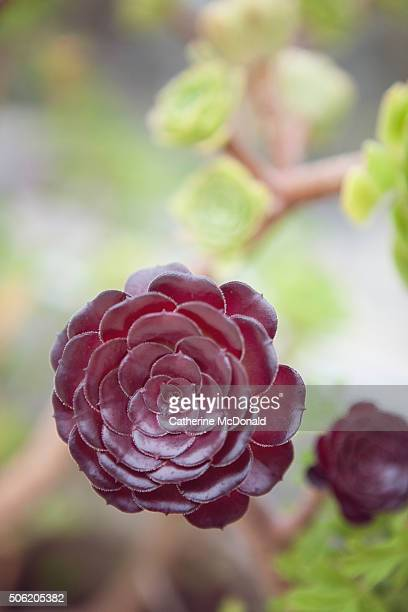 Aeonium arboreum Succulent in a low water garden in California