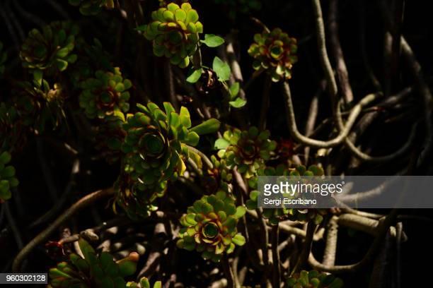 Aeonium arboreum, succulent plant
