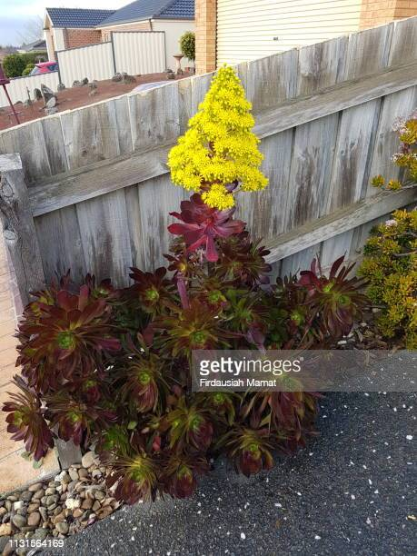 Aeonium arboreum Zwartkop or known as Black Rose succulent with yellow flower head