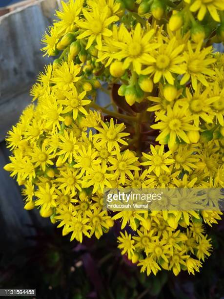 Aeonium arboreum Zwartkop or known as Black Rose succulent yellow flower head