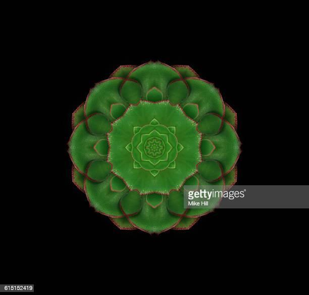 Aeonium Succulent Plant Mandala