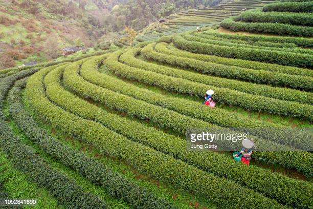 aerail view tea farm  with sea of mist, green tree, blue mountain and sunlight beam in the morning at doi ang khang, chiangmai, thailand. - chiang mai province stock photos and pictures