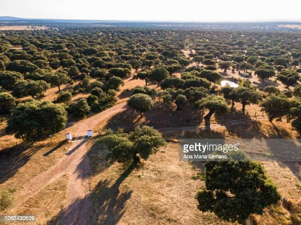 aerial drone shot of dirt roads between the trees and a pond in the dehesa surrounded by oaks - 斜めから見た図 ストックフォトと画像