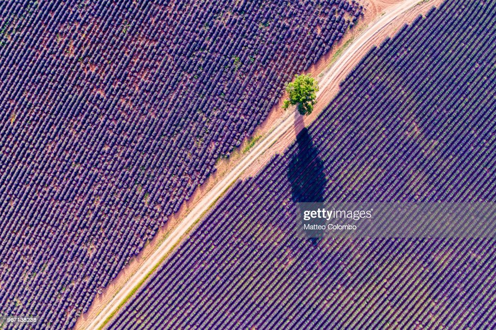Aerial drone view of tree in the lavender, Provence, France : Stock Photo