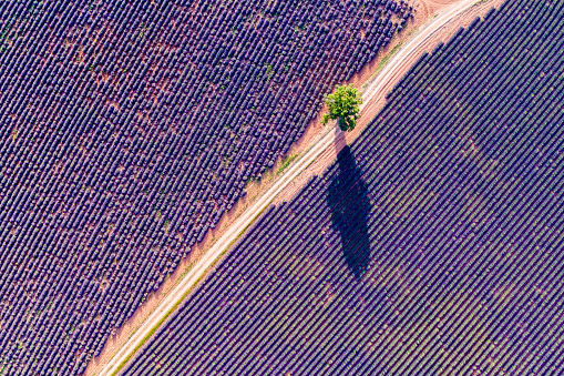 Aerial drone view of tree in the lavender, Provence, France - gettyimageskorea