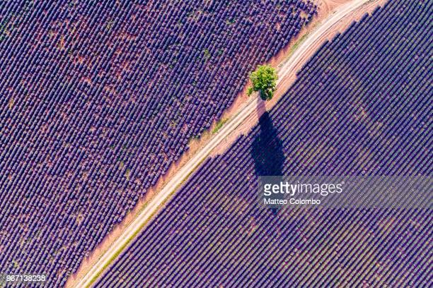 aerial drone view of tree in the lavender, provence, france - ponto de vista de drone - fotografias e filmes do acervo