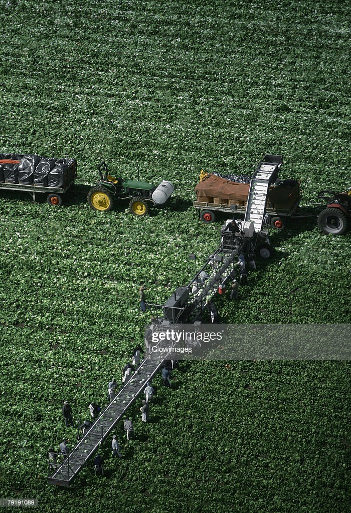 Aerial, harvesting head lettuce : Stock Photo