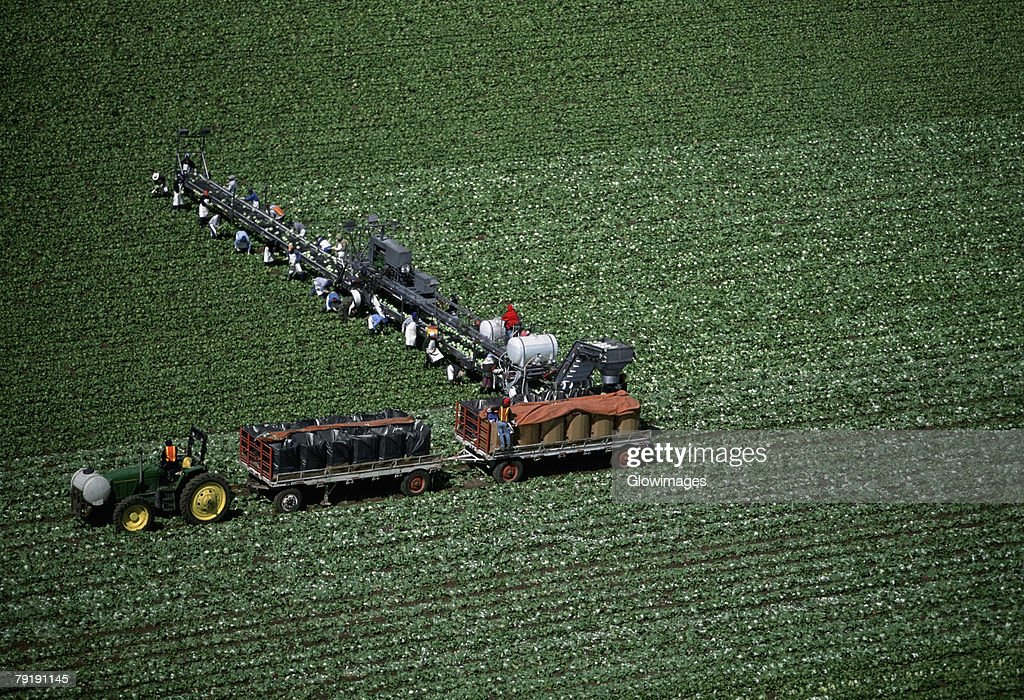 Aerial, harvesting head lettuce : Foto de stock