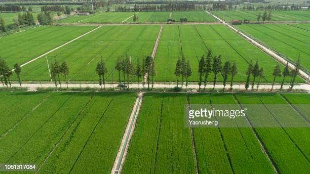 Aerial image of one tree growing in a wide rice filed,Farmland from above in Anqing,China