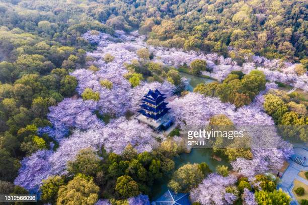 """aerial landscape of the spring cherry blossoms, in wuxi yuantouzhu, also named """"turtle head isle"""" in english - local landmark stock pictures, royalty-free photos & images"""
