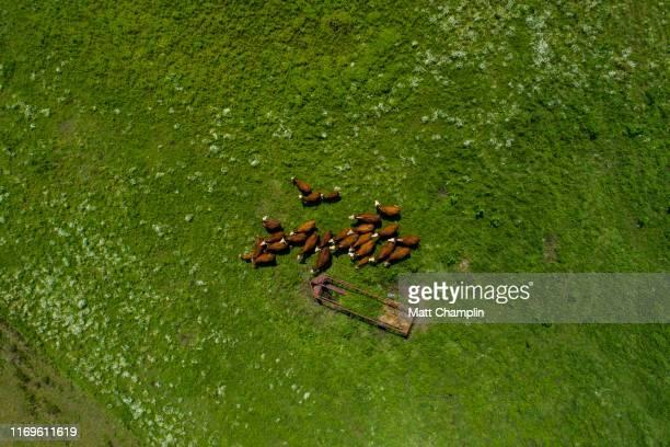 aerial of herd of beef cattle on farm - スカネアトレス湖 ストックフォトと画像