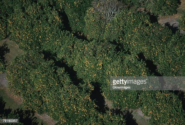 Aerial of orange groves, Florida