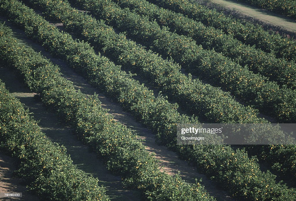 Aerial of orange groves, Florida : Foto de stock