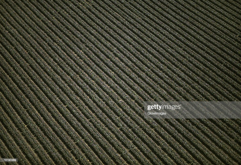 Aerial of red leaf lettuce field : Stock Photo