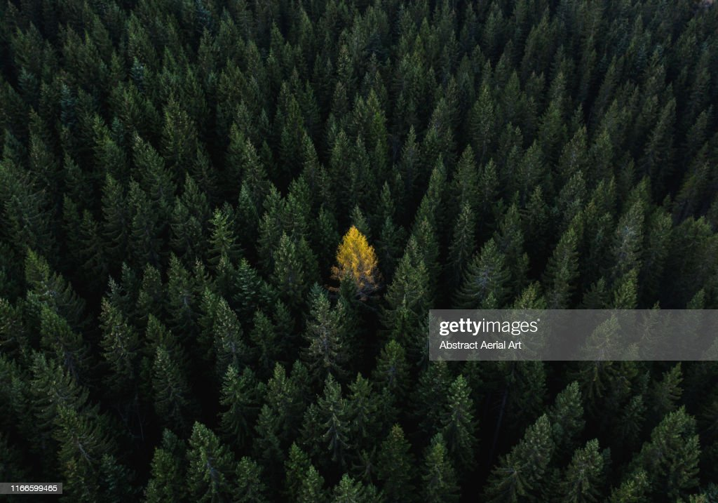 Aerial perspective of a single tree standing out from the crowd, Dolomites, Italy : Foto stock