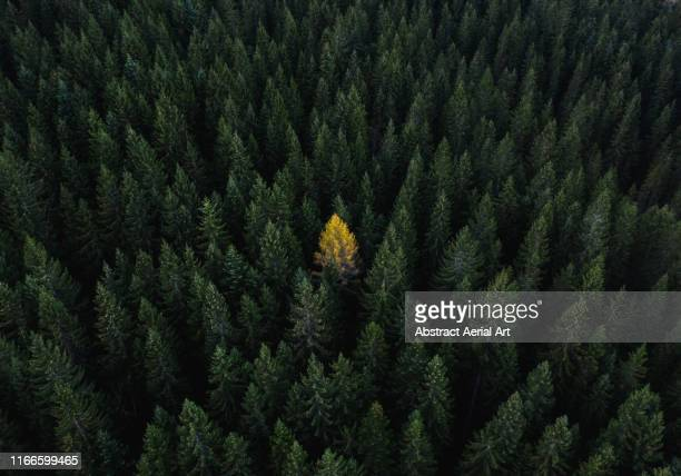aerial perspective of a single tree standing out from the crowd, dolomites, italy - individualidad fotografías e imágenes de stock